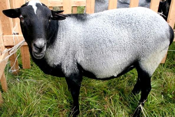 Шкурки овчины для дубленки шкурка