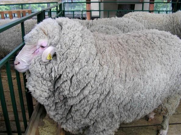 Шкурки овчины для пошива пошив